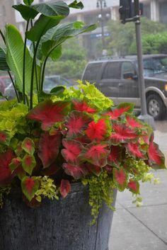 Large container planting | Lime foliage | Shade plants | center - Strelitzia - Bird of paradise | Wasabi coleus | Caladium | Lime licorice | Creeping Jenny |