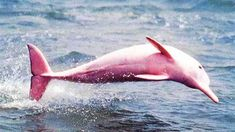 The pretty-in-pink bottlenose dolphin was first seen in the Calcasieu River, Louisiana, by charter boat captain Erik Rue in Fittingly, her nickname is Pinky. She's thought to be a rare albino dolphin and is now believed to be pregnant! The Animals, Pink Animals, Colorful Animals, Unusual Animals, Colorful Fish, Beautiful Creatures, Animals Beautiful, Majestic Animals, Adorable Animals