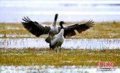 Black-necked cranes play in the Gahai Lake wetland
