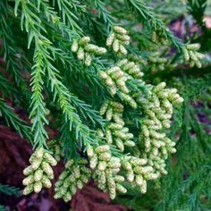 Cryptomeria japonica 'Radicans' | Plants Map.  #Gardens and #Gardeners: In our next #December Journal Update we will feature #Conifers and #Evergreens from our Plants Map growing community! We invite you to add a few of yours to document and share your experiences, growing tips, and photos too. Thanks for sharing! The next Journal Update will be the week of December 15, 2014.