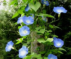 Climbing up a half-rotted fence post is a delicate  blue morning glory vine, its tendrils has twined along some rusty barb wire, this flower is certainly a favorite of mine.