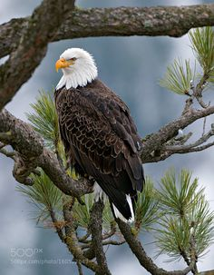 A portrait of an Eagle by BenEgbert #animals #animal #pet #pets #animales #animallovers #photooftheday #amazing #picoftheday