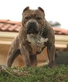 http://kooniwall.com/wp-content/uploads/2013/06/Pitbull-Dog-Angry-15.jpg