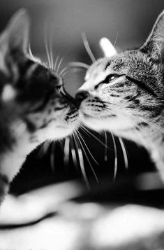 And White Cat Photos That Took Our Breath Away 17 Black And White Cat Photos That Took Our Breath Away Are Cats Liquid Product striped cat Cat via Oceaen n. Crazy Cat Lady, Crazy Cats, Kittens Cutest, Cats And Kittens, Cats Bus, Ragdoll Kittens, Tabby Cats, Bengal Cats, Siamese Cat