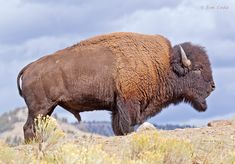 Bison, Yellowstone National Park, Wyoming | Bison Images