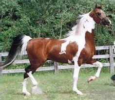 american saddlebred - Pesquisa Google