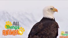 BALD EAGLE: Animal videos for children and kids. Preschool| Kindergarten...