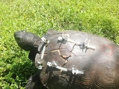 I am no Mary Shelly and this is no Frankenstein, but we have been doing some interesting work at Peace River Wildlife Center this week.  We have been inundated with injured turtles and tortoises this year, with a dramatic increase in those hit by cars over the past month.  When turtles and tortoises come in with fractured carapaces (top shell) or plastrons (bottom shell), we must first... Read the Full Story --> http://peaceriverwildlifecenter.org/frankentortoise/