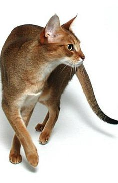 Chausie Cat breed - The Chausie is a short-haired, medium to large sized cat with a long body. Three color combinations are found - black grizzled tabby, brown ticked tabby and solid black