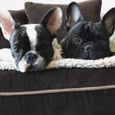 ♀️ Cosmo and Juniper, French Bulldogs on instagram #buldog
