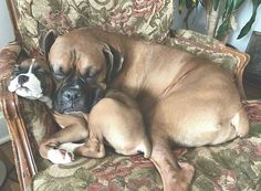 Boxer love by tween Queen