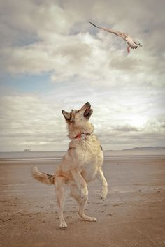 Action shot of dog on beach Action shot of dog on beach Action Photography, Wildlife Photography, Animal Photography, Super Cute Dogs, Dog Shots, Beach Shoot, Dog Beach, Dog Pictures, Strand