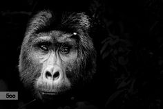 Gorilla Alpha Male by Simone Raso on 500px