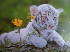 White tiger cub #adorable #most amazing animal