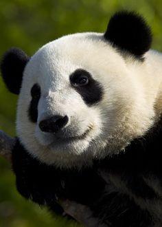 Giant panda Yun Zi