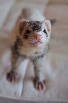 My ferret 'Karin'
