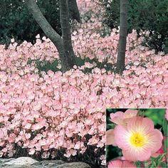 Buy Pink Sundrops at Michigan Bulb - 2 needed