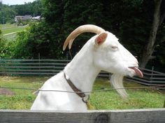 Gene Simmons of goats