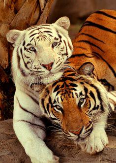 White tiger and orange Tiger cuddling