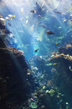 """Sunlight coming in from the Academy's central square cast beautiful rays on the massive viewing pane of the Philippine Coral Reef. Solar energy powers the whole reef ecosystem. Algae is eaten by small invertebrates and herbivorous fish which are then eaten by carnivorous which expel nutrients which is then used up by the algae again. It's the circle of reef life!"" By NMB.Photography"