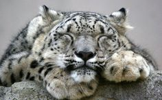 Unlike many other big cats, snow leopards are not aggressive towards humans. There has never been a verified snow leopard attack on a human being.