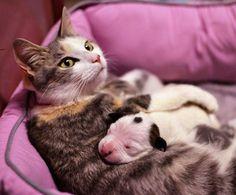Nolan,cucciolo di pitbull adottato da mamma gatta.