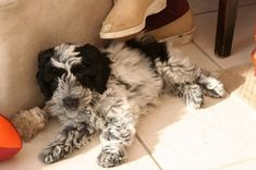 Springerdoodle Puppies for Sale Puppies for sale