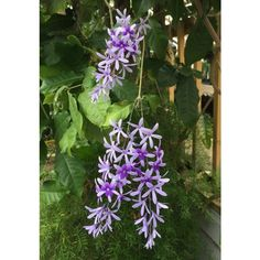 Queen's Wreath (Petrea volubilis) This woody climber from Central America puts on a spectacular display of lavender-purple flowers in late winter or early spring in indoor/greenhouse culture. The key to flowering is a full sun exposure and allowing the vining stems to develop side branches from which the flower buds emerge. The chains of blooms on mature plants resemble cascading wisteria.