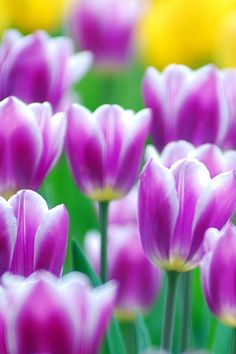 beautiful tulips @Hanna Andersson Andersson Andersson #BestMomEverContest