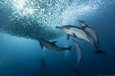 The Sardine Run (with dolphins) ~ by Alexander Safonov
