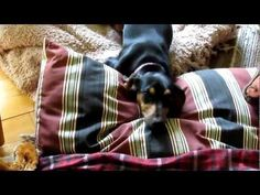 Oh my, dachshund damage...the guilt and shame on her face is priceless!