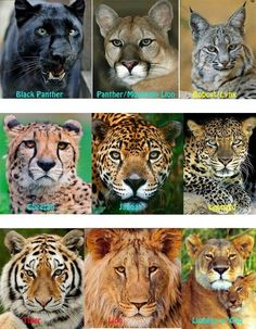 lions, tigers, cheetahs, jaguars, leopards, black panthers, cougars, and lynx: