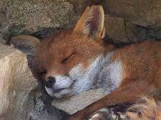 """Résultat de recherche d'images pour """"renard"""""""
