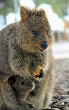 Quokka knaagdiertje uit australie