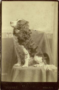 vintage english springer spaniels | ... re: Vintage dog photo! sometimes i love my job! (scan from my work