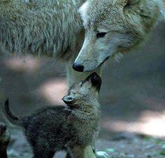 Wolfsmutter füttert Welpe
