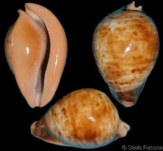 cypraea armeniaca - Google Search
