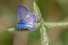 Mimia Butterfly