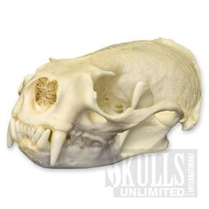 WSM-335: American River Otter Skull (Natural Bone Quality A)