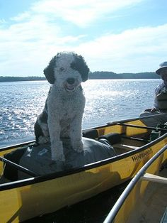 If I ever got a big dog I would get a Portuguese Water Dog