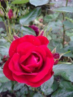 Rose red