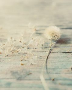 Dandelion photograph teal seeds rustic winter by dullbluelight, $30.00