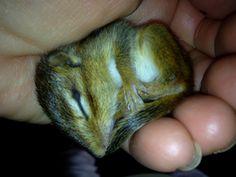 Baby Chipmunk taking a nap. Baby Chipmunk, Take A Nap, Chipmunks, Flyers, Baby Animals, Wildlife, Creatures, Funny, Ruffles