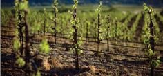 Trefethen Merlot: From a Near-Disaster, a Classic Emerges - Grapecollective.com
