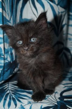 REBELLE Femelle Maine Coon Black Solide née le 20 juin 2020 ( 4 semaines ) Chat Maine Coon, Cats And Kittens, Animals, Cattery, Animales, Animaux, Animal, Animais, Cats