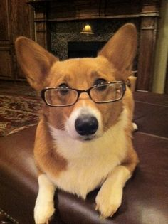 corgi intelligentsia