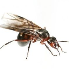 1000 ideas about flying ants on pinterest drywood