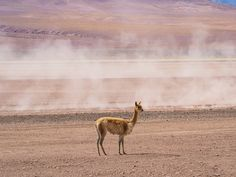 Vicuna Tours, Travel, Animals, Viajes, Animales, Animaux, Destinations, Animal, Traveling