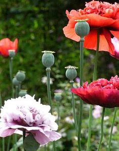 Buypoppy seeds flower garden poppies largest collection cart poppy seeds for sale over 75 flower garden varieties in store buy poppies from a collector mightylinksfo