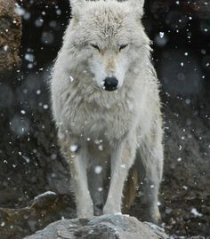 I want a wolf.